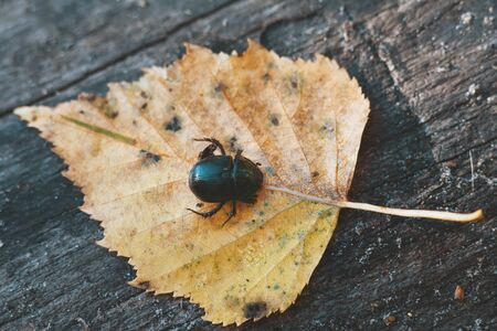 Black beetle on yellow leave - autumn forest concept