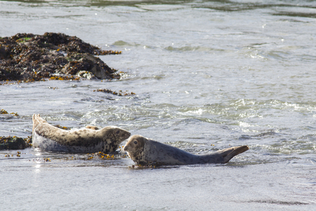 wildanimal: Harbor seals resting on a shallow water in Scotland Stock Photo