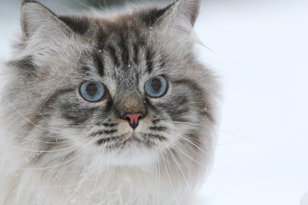 Portrait of a big furry cat walks in the snow Stock Photo
