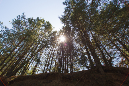 Forest with sunlight passing through the pine trees Stock Photo