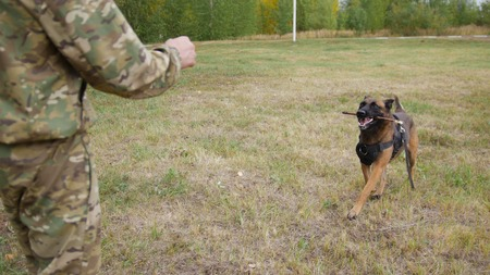Trained german shepherd dog brings a stick to his trainer