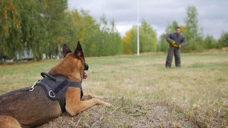 A trained german shepherd dog laying on a field. Man on the protection is staying on the other side of the field