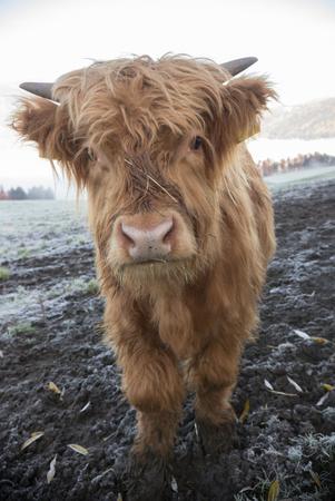 A close up shot of adorable alpine little brown calf