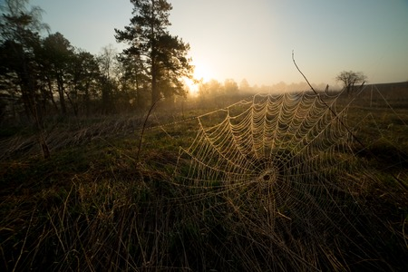A spider web at early morning. A sunrise in the forest