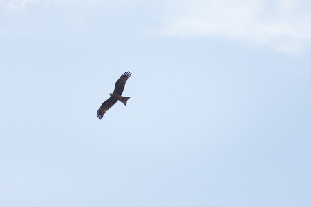 A brown eagle soaring against blue sky Stock Photo