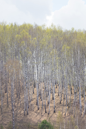 Birch forest on the edge at spring Stock fotó