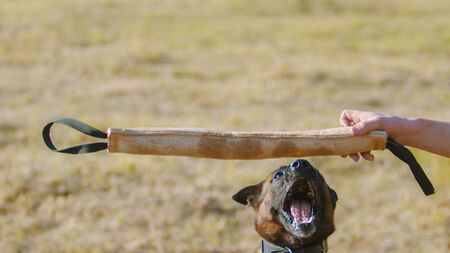 A man training his german shepherd dog - incite the dog on the grip bait - the dog jumps and about to bite