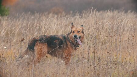 A fluffy dog standing on the autumn rye field