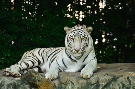 paraplegico: estancia tigre blanco en la roca tailandia