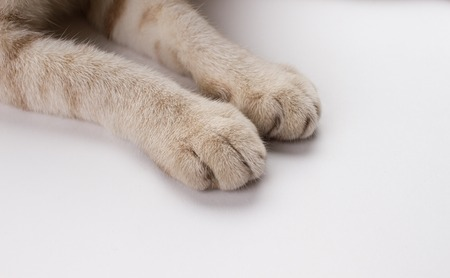 Thai cats paw on white background