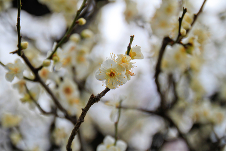 japanese apricot flower: close up white color japanese apricot flower