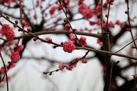 japanese apricot flower: close up pink color japanese apricot flower