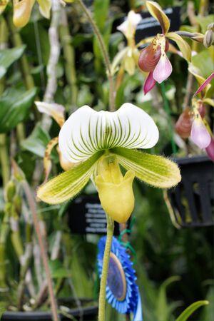closeup: closeup green color lady slipper orchid paphiopedilum Stock Photo