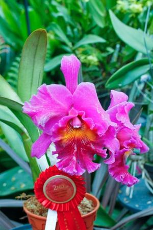 cattleya: cattleya orchid Stock Photo
