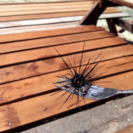 urchin: sea urchin