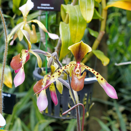 lady slipper: closeup of colorful lady slipper orchid paphiopedilum