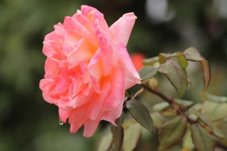 prospettive rosa Stock Photo