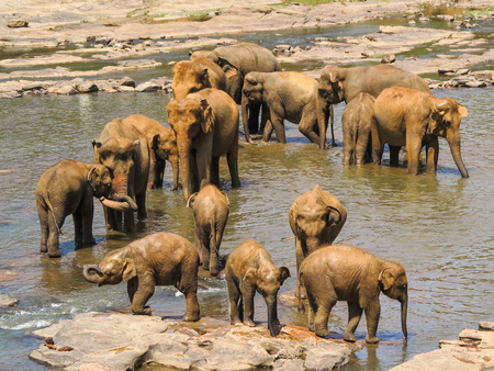 A herd of asian elephants in Sri Lanka takes a break in a river  photo