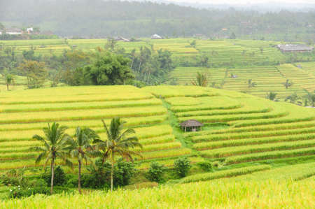 Broad view of rice terraces in Bali, Indonesia.