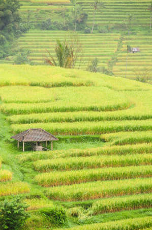 Extract of rice terraces in Bali, Indonesia, with cottage.