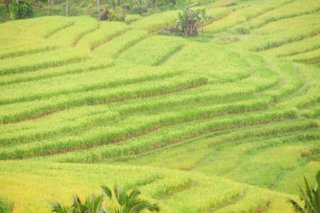 Detail of rice terraces in Bali, Indonesia.