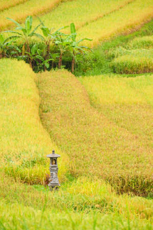 Detail of a rice terrace in Bali, Indonesia, with a small shrine for offerings. Editorial