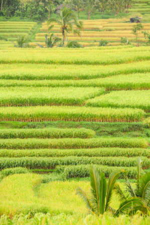 Detail of rice terraces in Bali, Indonesia monochrome green. Stock Photo
