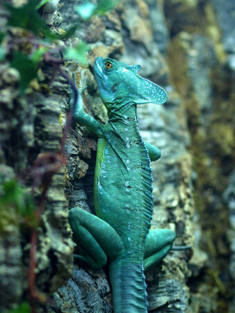 Green chameleon sitting stiff and well camouflaged on a tree.