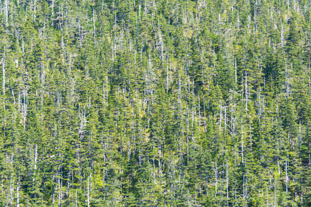 Detail of a wood in Alaska with some dead trees, picture filling. Stock Photo