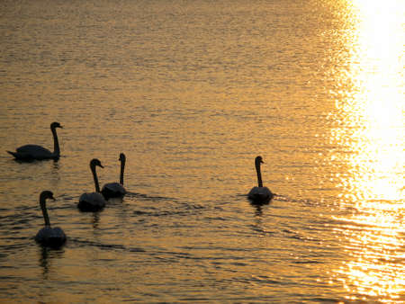 Several swans on a lake in backlight.