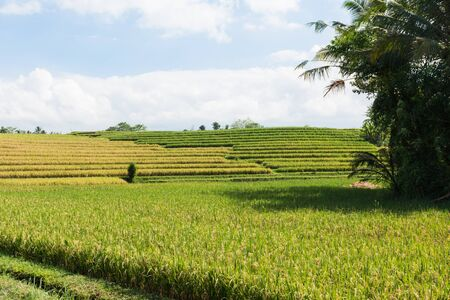 Landscape image of balinese fields on which rice is growing.
