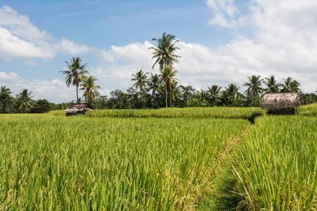 Landscape image of balinese fields on which rice is growing with huts. Stock Photo