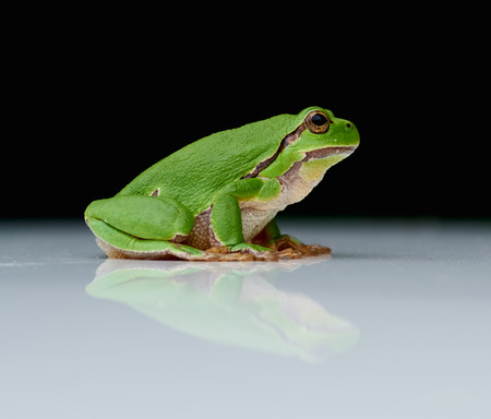 sweden resting: Close up of european tree frog (Hyla arborea) sitting on a a reflecting white plate with black background Stock Photo