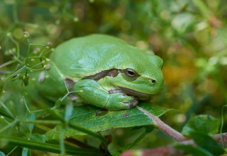 sweden resting: Close up of european tree frog (Hyla arborea) sitting on a green leaf