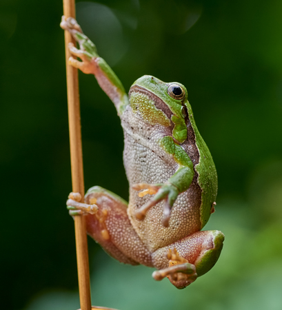 sweden resting: Close up of european tree frog (Hyla arborea) hanging on a straw