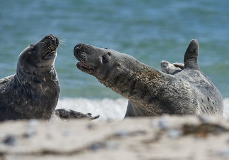 communicating: Close up of pair of gray seals (Halichoerus grypus) communicating at the beach at Dune, Helgoland, Germany