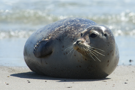 helgoland: Close up of gray seal (Halichoerus grypus) at the beach at Dune, Helgoland, Germany Stock Photo