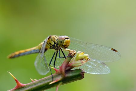 thicket: dragonfly on a thicket