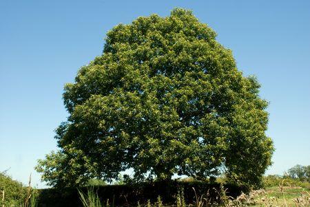 chestnut tree: chestnut tree in summer Stock Photo
