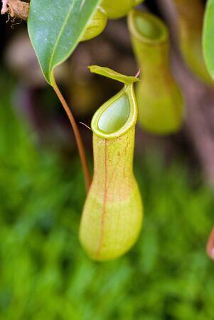 pianta carnivora nepenthes  Archivio Fotografico - 6077945