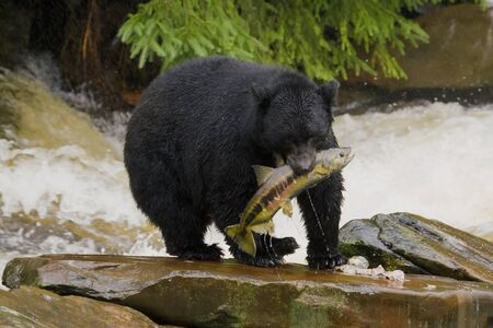 The American black bear (Ursus americanus) is North Americas smallest and most common species of bear. photo