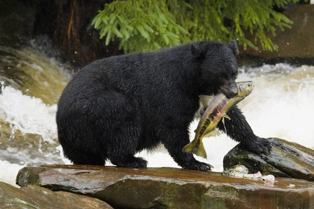 The American black bear (Ursus americanus) is North America's smallest and most common species of bear. Stock Photo - 9741845