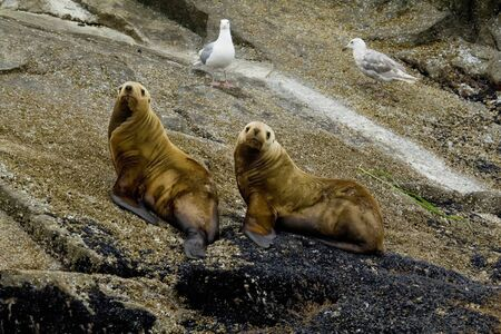 characterized: Sea lions are pinnipeds characterized by external ear-flaps, long fore-flippers, the ability to walk on all fours, and short thick hair.