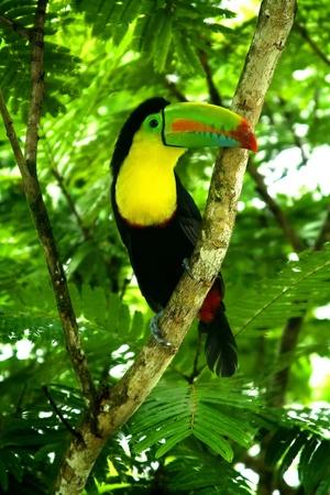 Tucan im Dschungel von Puerto Limon Standard-Bild - 10396348