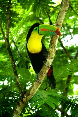 rica: Tucan in the jungle of Puerto Limon