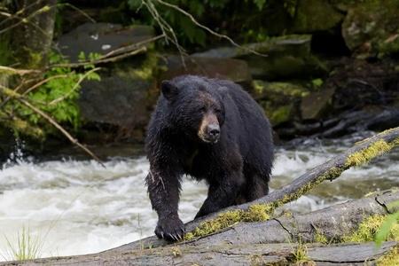 The American black bear  photo