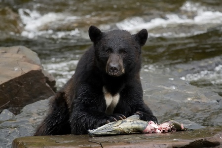 omnivore: The American black bear eating fish Stock Photo