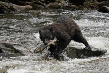 The American black bear catching fish photo