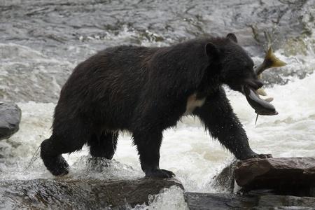 The American black bear catching fish Stock Photo - 10396339