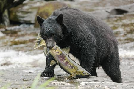 Black bear feeding with salmon at a small creek